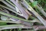 Photo of Common Burdock stems