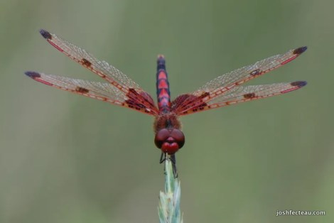 Photo of Calico Pennant (male)