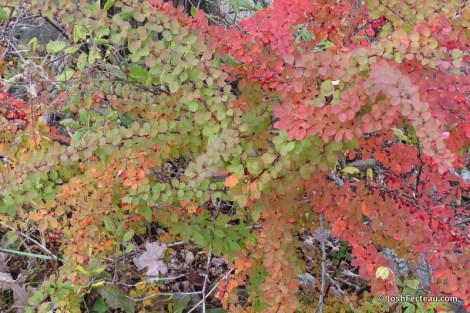 Photo of Japanese Barberry fall shrub