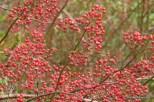 Photo of Rambler Rose rosehips