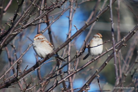 Photo of American Tree Sparrows