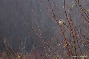 Photo of American Tree Sparrow