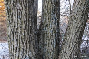 Photo of Black Locust old bark
