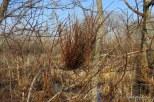 Photo of Highbush Blueberry broom