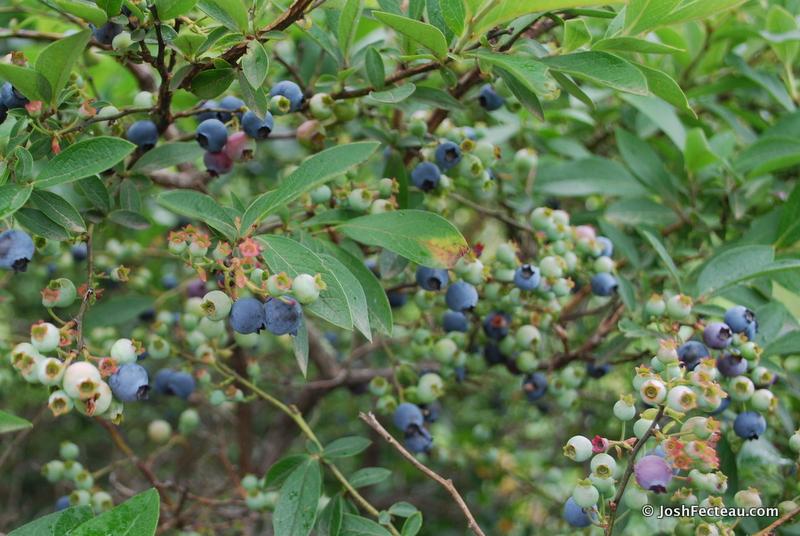 Winter Shrub Id Highbush Blueberry Josh Fecteau