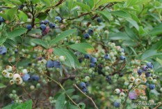 Photo of Highbush Blueberry