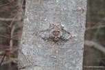 Photo of Big-toothed Poplar trunk