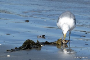 Photo of Herring Gull eating Horse Mussel