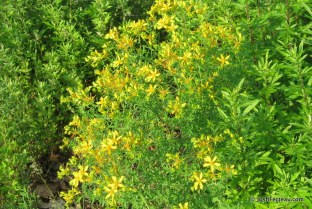 Photo of Common St. John's-wort
