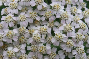 Photo of Common Yarrow (Achillea millefolium) flowers