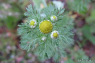Photo of Rayless Chamomile from above