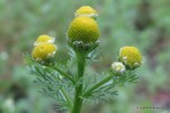 Photo of Rayless Chamomile from the side