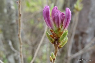 Photo of Rhodora (Rhododendron canadense) buds