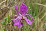 Photo of Rhodora (Rhododendron canadense) flowers