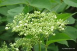 Photo of Black Elderberry flower buds