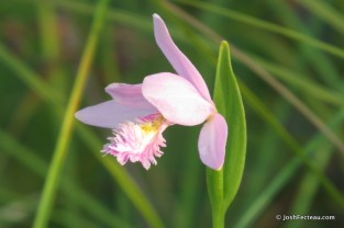 Photo of Rose Pogonia flower (side)