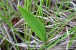 Photo of Rose Pogonia leaf