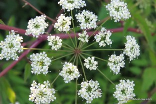 Photo of Spotted Water-hemlock flowers
