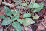 Photo of Checkered Rattlesnake-plantain patch