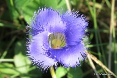 Photo of Greater Fringed-gentian flower