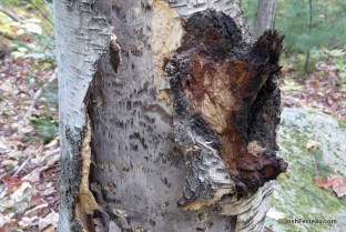 Photo of Inonotus obliquus (Chaga)