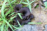 Photo of Craterellus cornucopiodes (Black Trumpets)