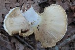 Photo of Lactarius sp.