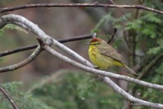 Photo of Palm Warbler (spring)