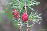 Photo of American Larch female cones