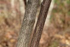 Photo of Beaked Hazelnut bark