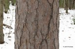 Photo of Red Pine (Pinus resinosa)