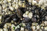 Photo of young Blue Mussels with barnacles