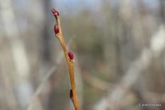 Photo of Maleberry (Lyonia ligustrina)
