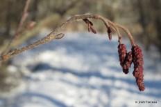 Photo of Speckled Alder (Alnus incana)