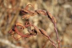 Photo of Sweet-fern (Comptonia peregrina)