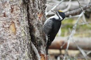 Photo of Black-backed Woodpecker