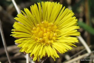 Photo of Coltsfoot