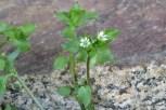 Photo of Common Stitchwort