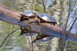Photo of Painted Turtles