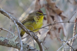 Photo of Palm Warbler