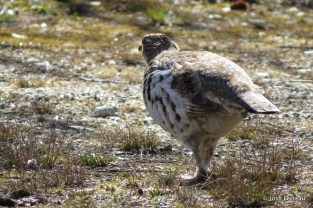 Photo of Ruffed Grouse