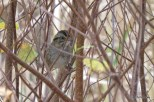 Photo of Swamp Sparrow (October)