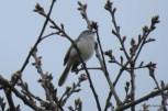 Photo of Blue-gray Gnatcatcher