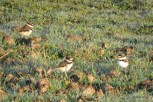 Photo of Killdeer (juveniles)