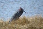 Photo of Little Blue Heron