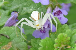 Photo of Crab Spider on Gill-over-the-ground