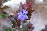 Photo of Gill-over-the-ground flower