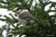 Photo of Gray Jay