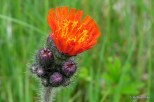 Photo of Orange Hawkweed