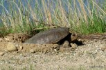 Photo of Snapping Turtle